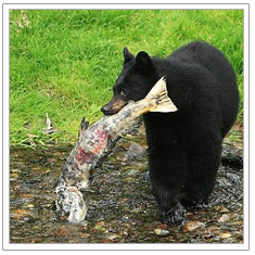 Black Bear Fishing in Stream